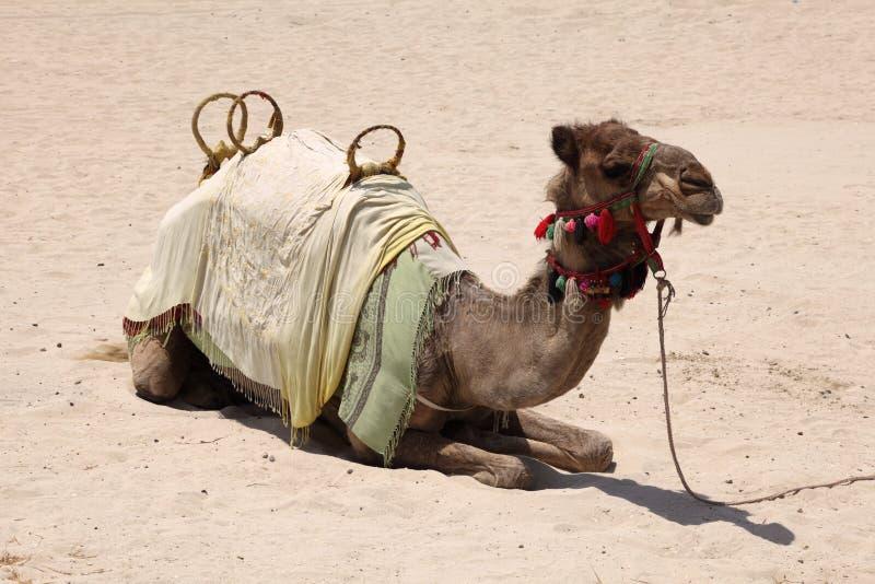 Chameau sur la plage à Dubaï photographie stock libre de droits