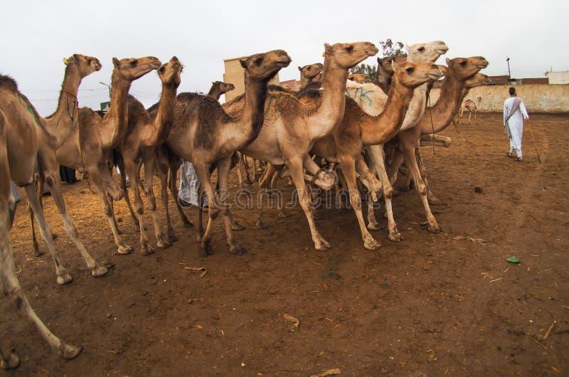 Chameaux à vendre sur le marché au Caire, Egypte image libre de droits