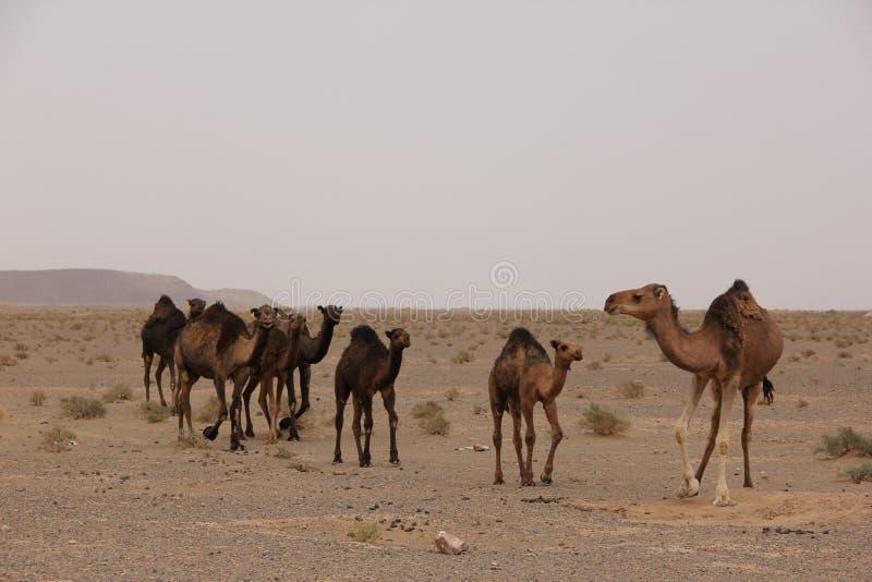 chameaux photographie stock