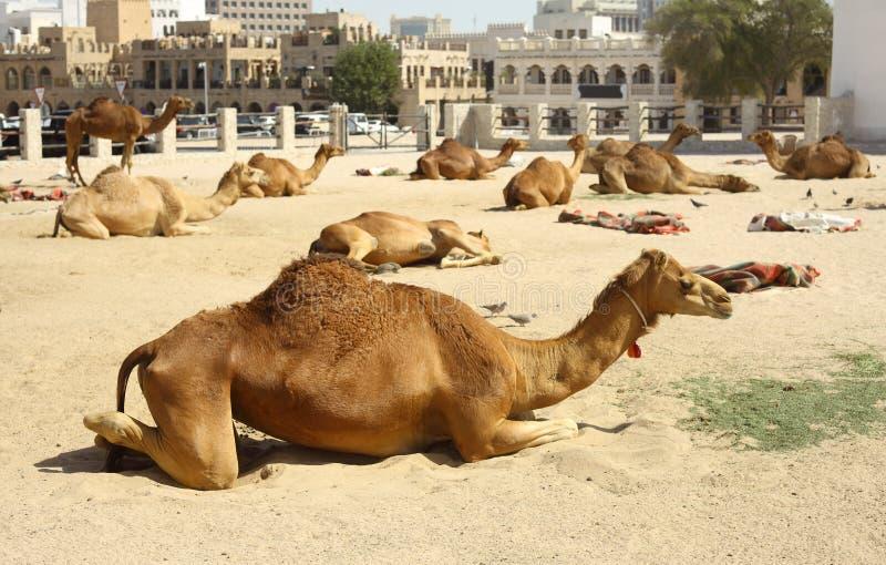 Chameaux dans Doha image libre de droits