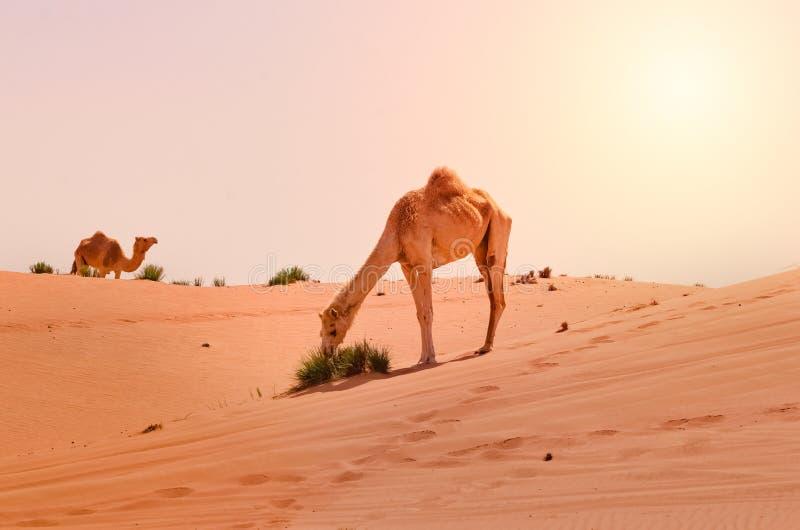 Chameaux dans le désert photographie stock libre de droits
