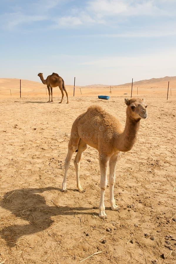 Chameaux dans le désert photos stock