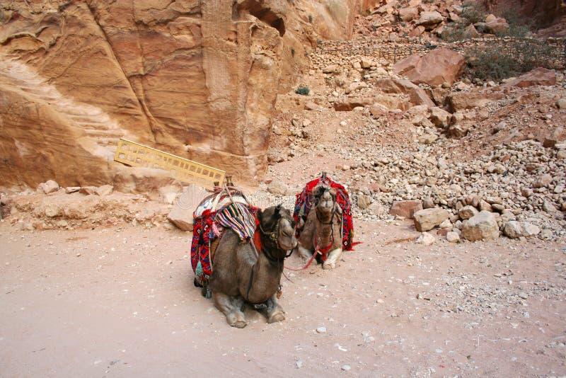 Chameaux dans PETRA, Jordanie images libres de droits