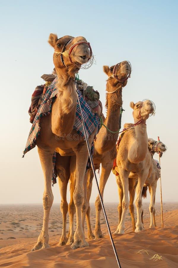 Chameaux dans un désert photographie stock libre de droits