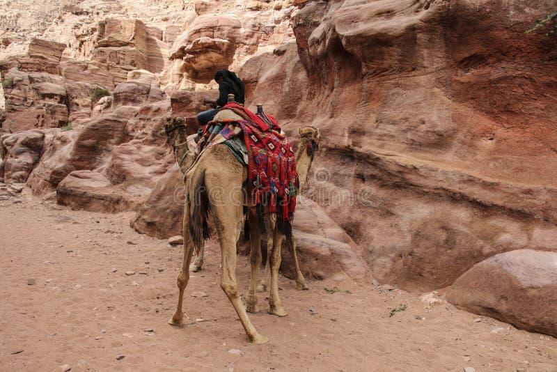 Chameaux employés pour transporter des touristes dans la ville antique de PETRA, Jordanie photo stock