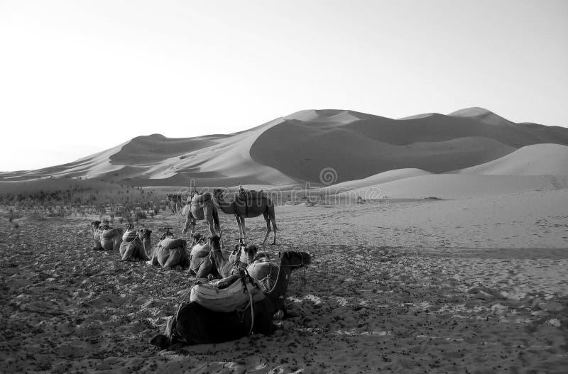 Download Chameaux Se Reposant Dans Un Désert Dans B/W Image stock - Image du caravane, pyramide: 728289