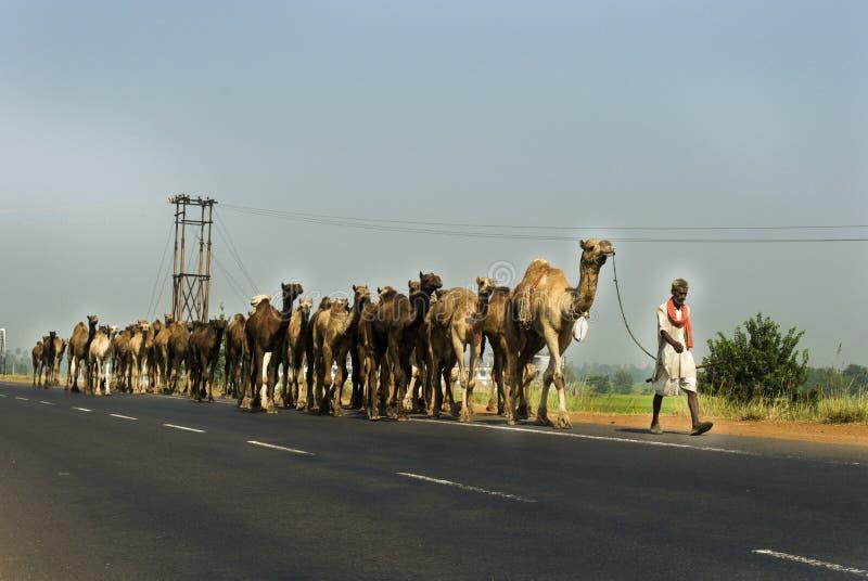 Chameaux sur l'omnibus en Inde image stock
