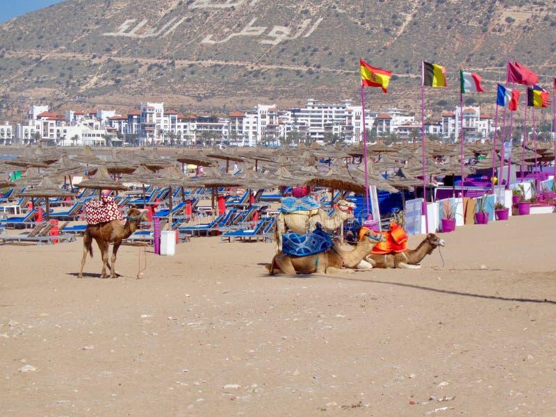 Chameaux sur la plage au Maroc image stock
