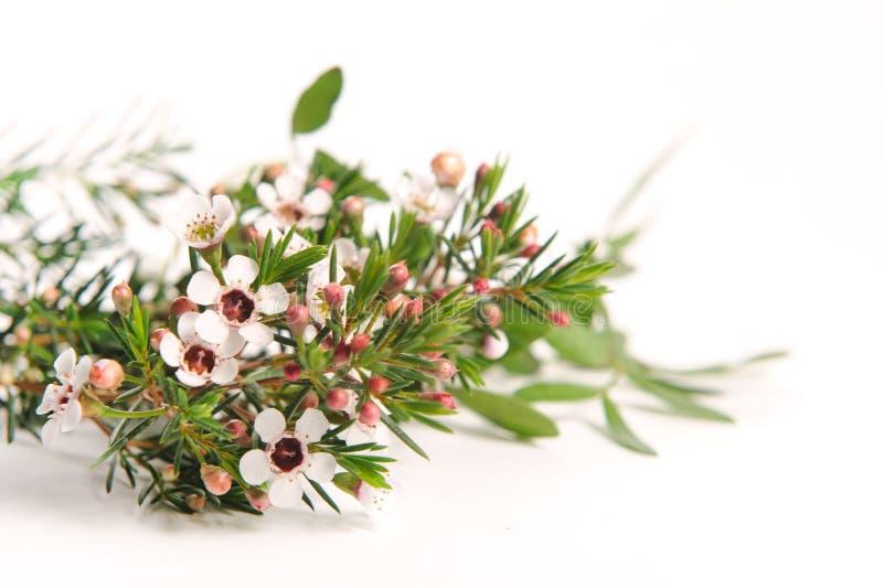 Chamelaucium branco Waxflower imagens de stock