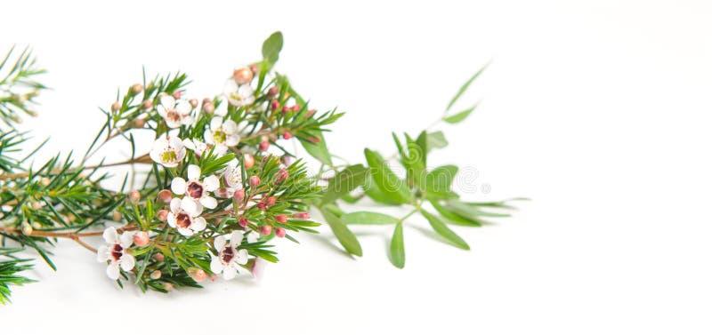 Chamelaucium Waxflower foto de stock