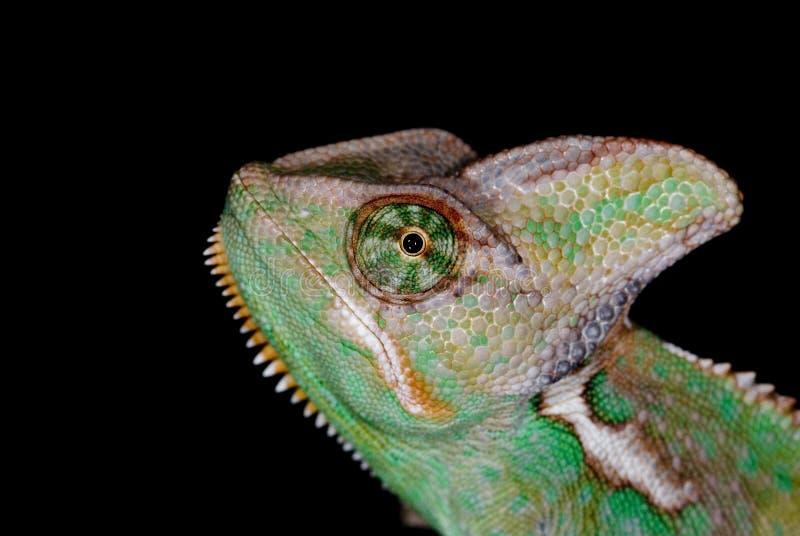 Chameleon 01 imagem de stock royalty free