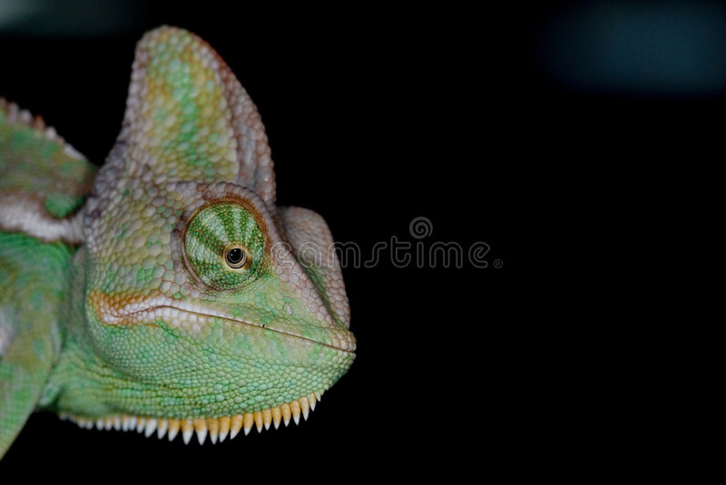 Chameleon 01 royalty free stock images