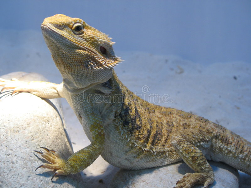 Chameleon 1 fotografia de stock