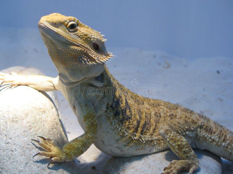 Chameleon 1 stock photography