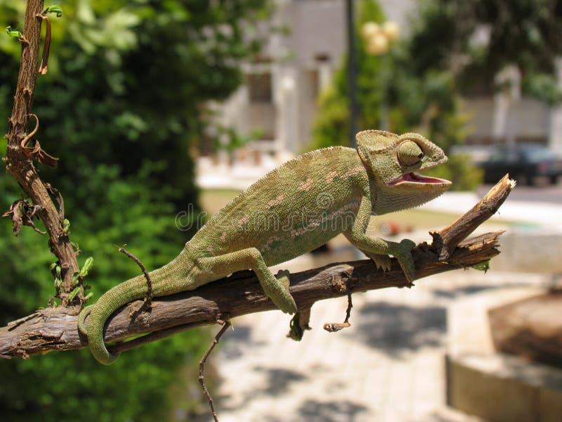 Chameleon_10 photo stock