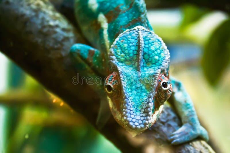 Download Chameleon stock image. Image of color, sticking, stem - 10080703