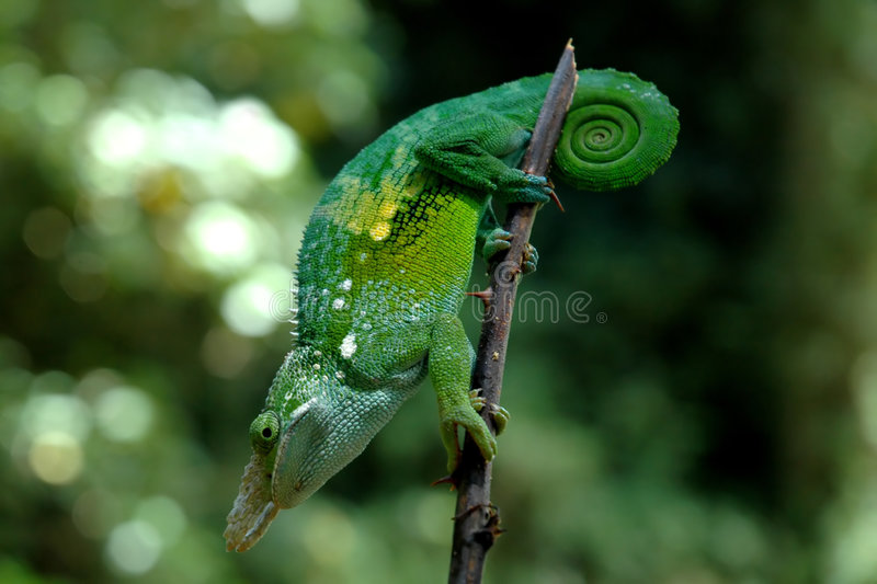 A chameleon royalty free stock images
