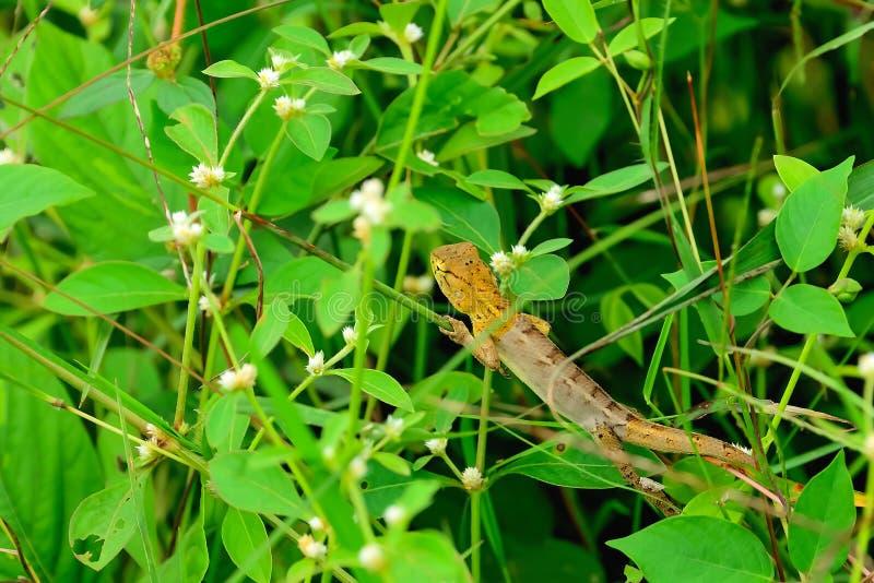chameleon stock afbeelding