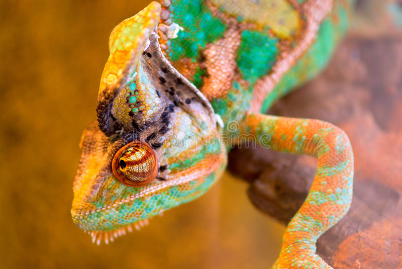 Chameleon. Brown - green chameleon on hunting stock photo