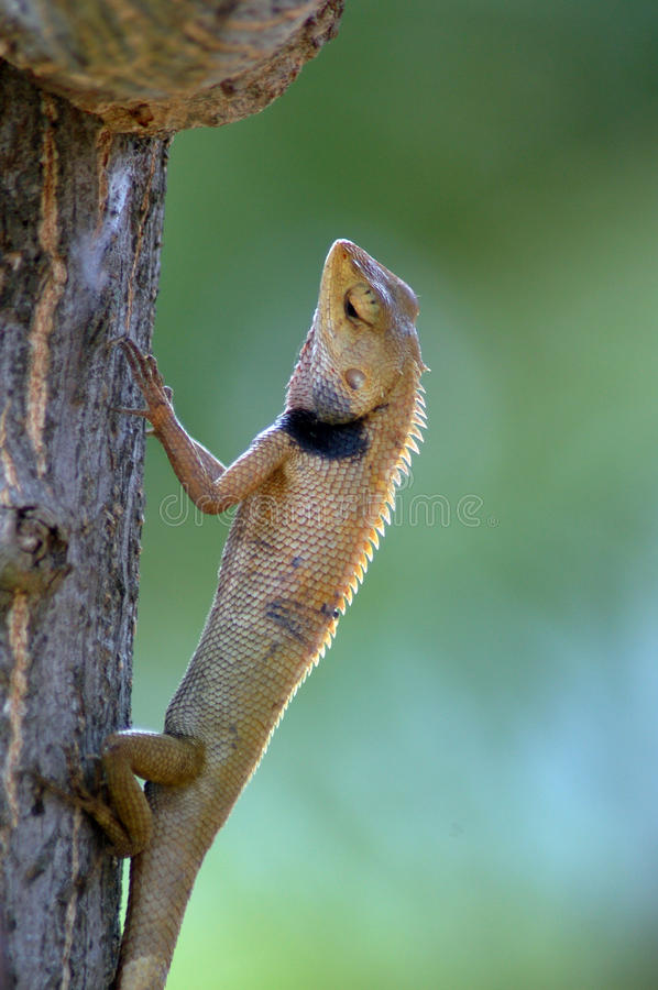 Chameleon. Attach to the tree with blur backgrund stock image