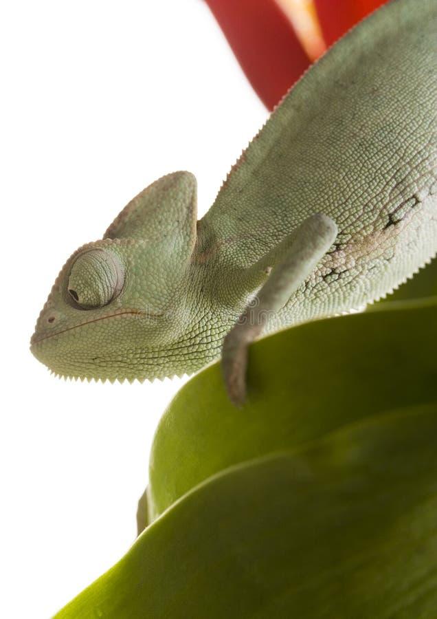 Chameleon immagine stock immagine di foglio colore - Foglio colore coniglietto pasquale ...