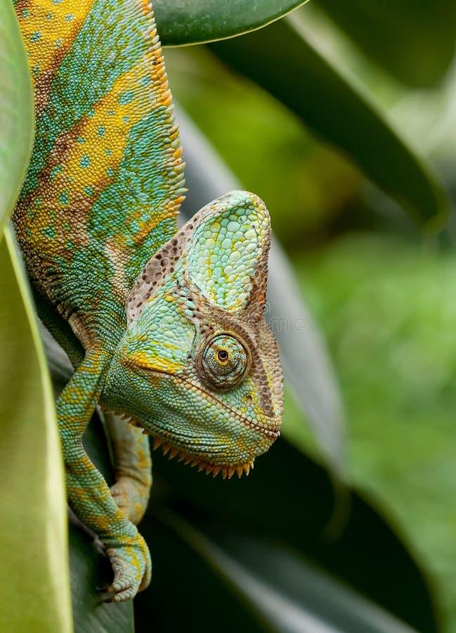 Chameleon fotos de stock