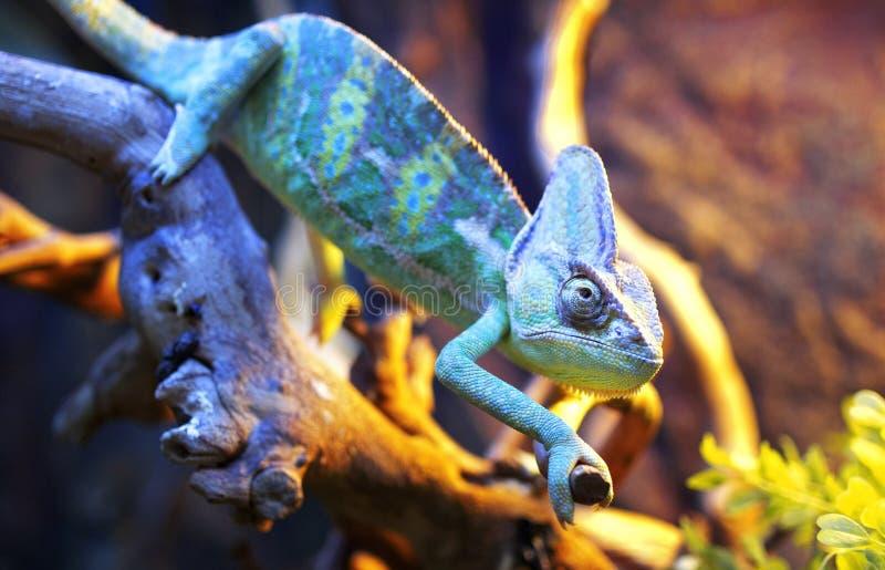 Chameleon. Blue chameleon inside a terrarium royalty free stock photography