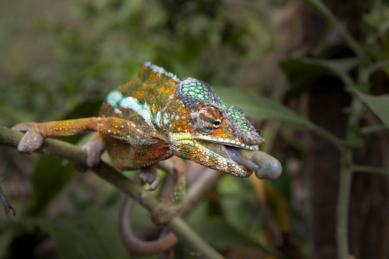 Chameleon. On the branch, prepering his tongue for attack stock image