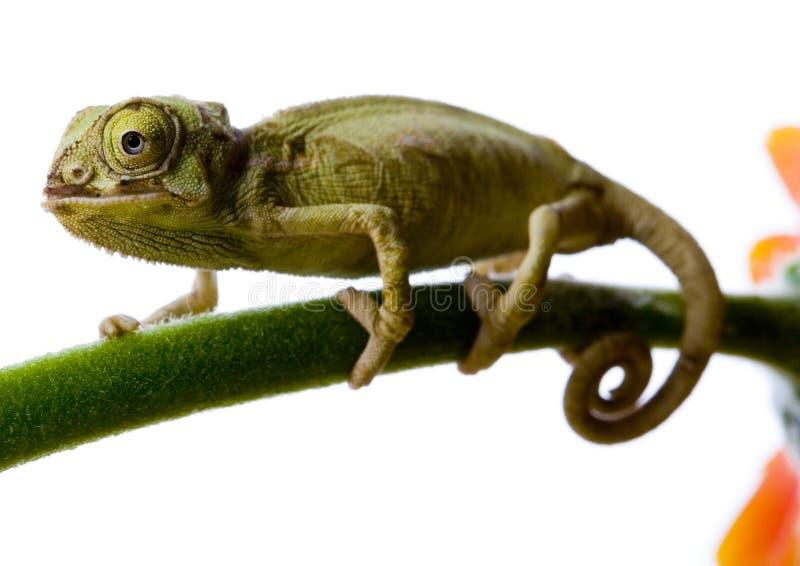 Chameleon fotografia de stock royalty free