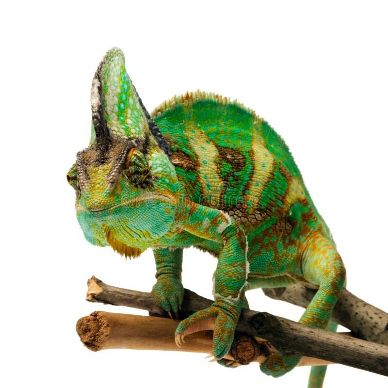 Chameleon immagine stock libera da diritti