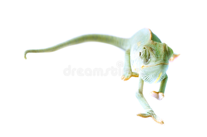 Chameleon. imagens de stock