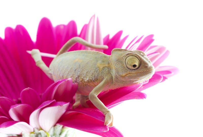 Chameleon. stock photos