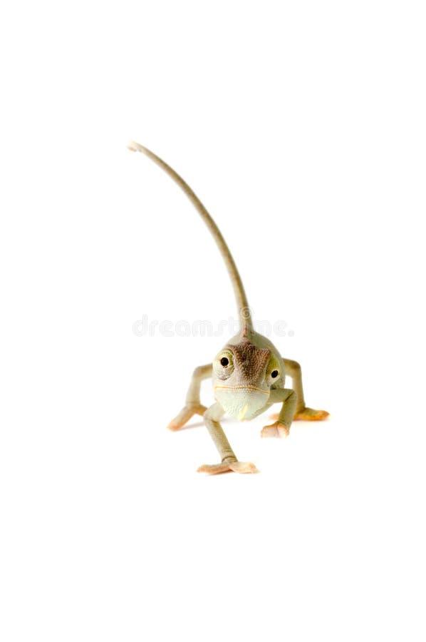 Chameleon. imagem de stock royalty free