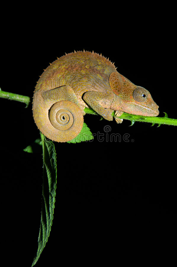 Download Chameleon stock image. Image of south, africa, camouflage - 4868411