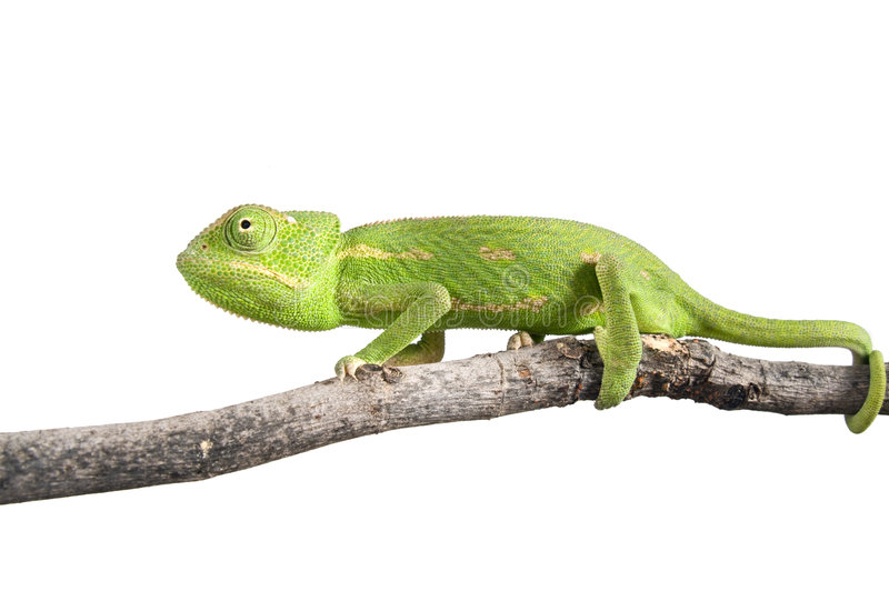 Download Chameleon stock image. Image of green, growth, arboricole - 5250389