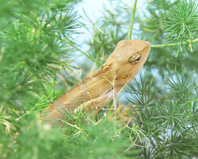 A Chameleon Royalty Free Stock Photography