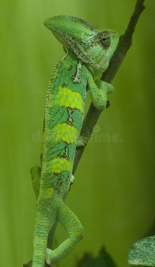 Download Chameleon stock photo. Image of crown, oasis, chameleon - 6587356