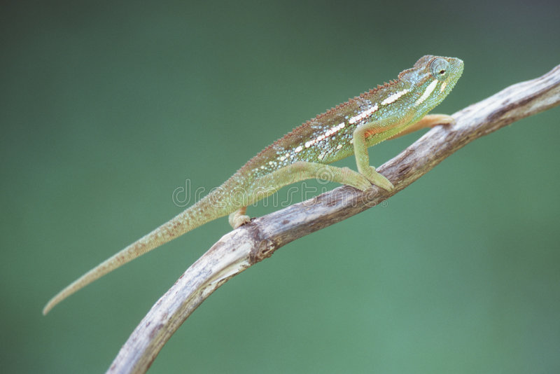 Download Chameleon stock image. Image of rainforest, reptiles, moving - 75049