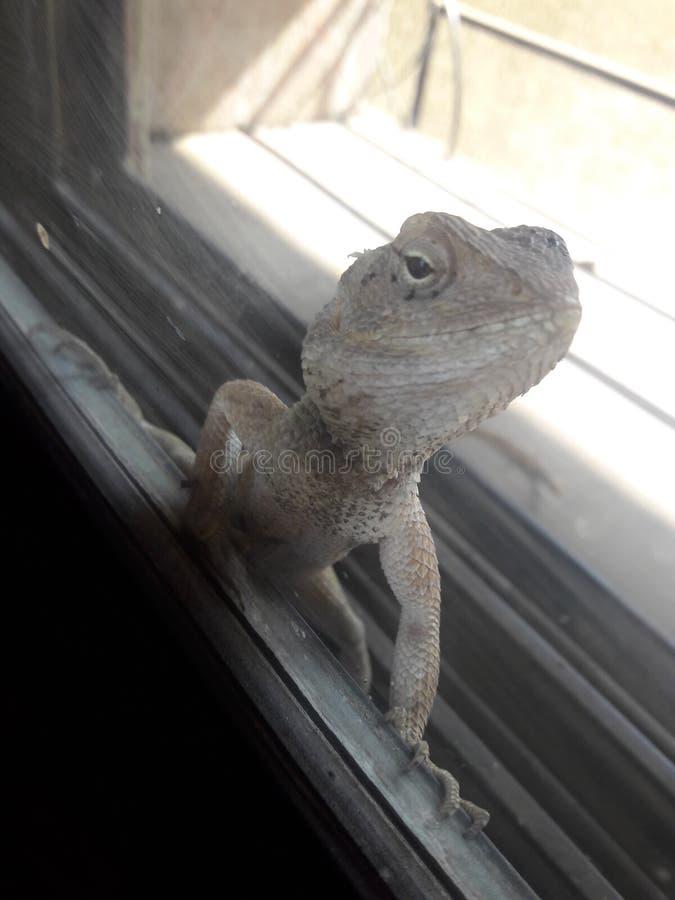 chameleon stock fotografie