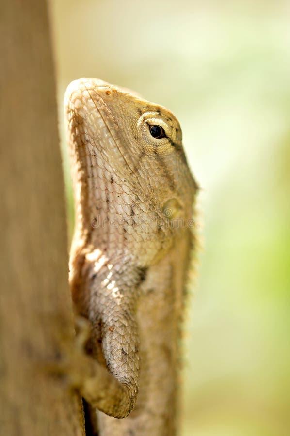 Download Chameleon stock image. Image of animal, ecology, beautiful - 8948961