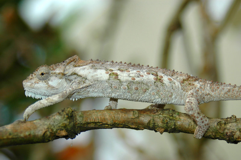 Chameleon africano immagine stock libera da diritti