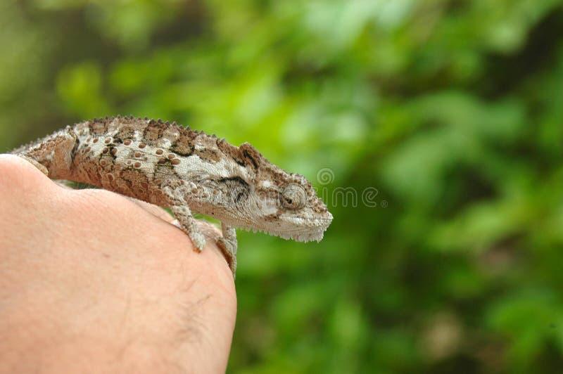 Chameleon africano imagens de stock royalty free