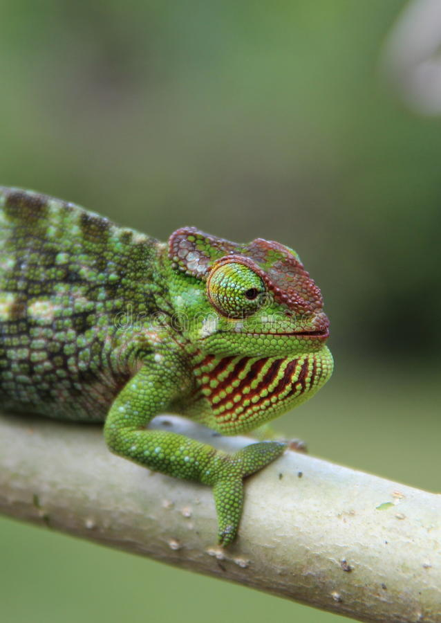 Chameleon africano immagini stock