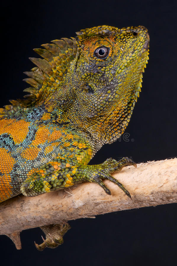 Download Chameleon Agama Male Royalty Free Stock Photography - Image: 15989307
