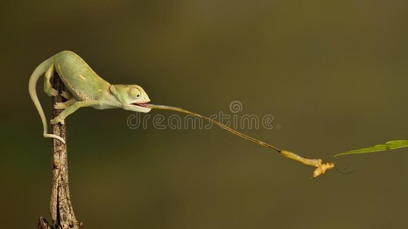 Chameleon. Back flapped chameleon catching cricket