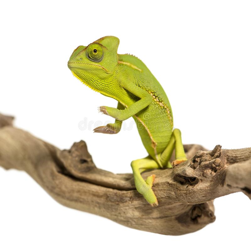 Chameleon, Chamaeleo chameleon. On branch in front of white background stock photography