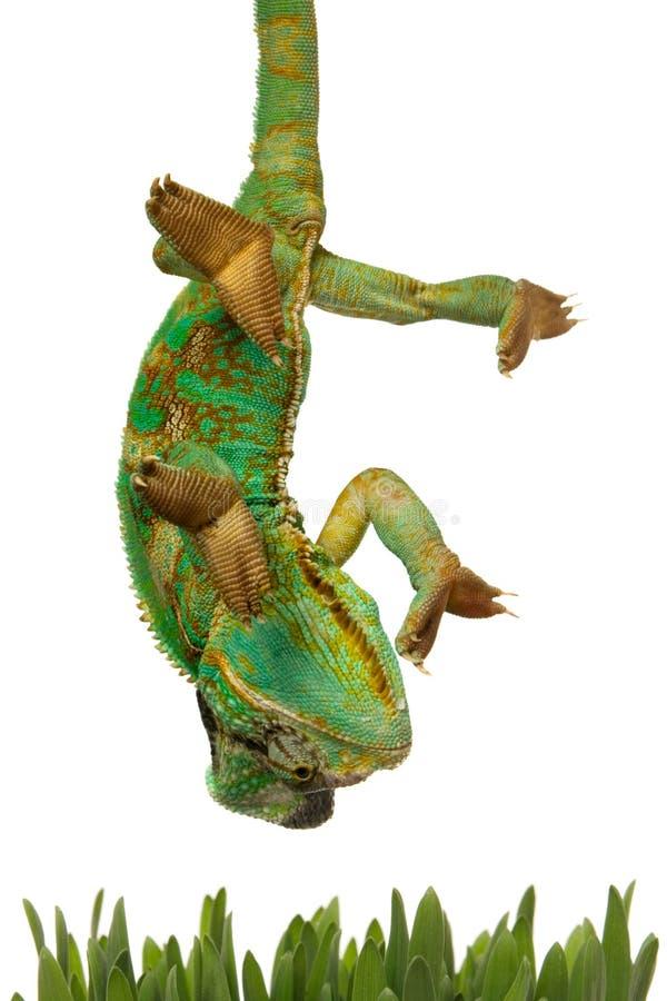 chameleon che va per l'erba immagini stock