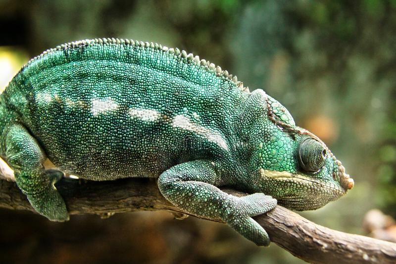 Chameleon chilling on a branch royalty free stock photos