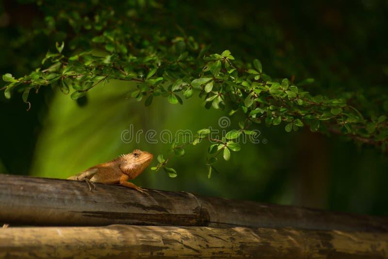 Chameleon climb on bamboo stock photos