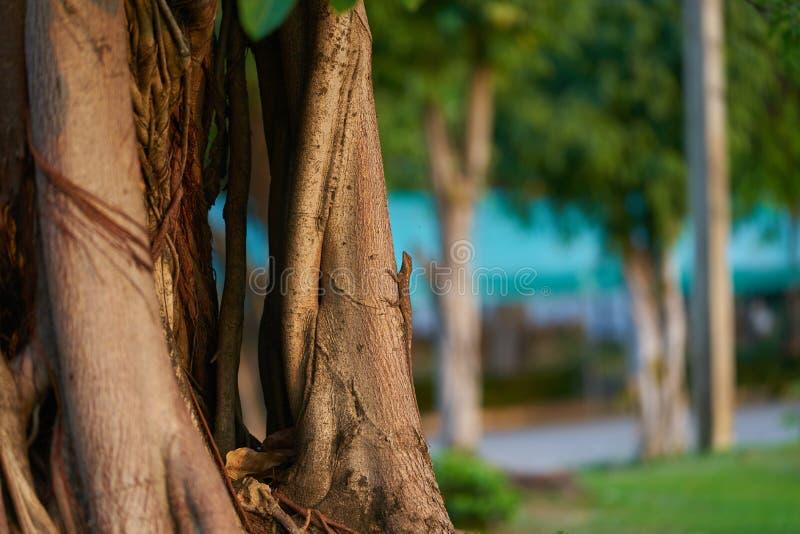 Chameleon climb on tree stem stock photos